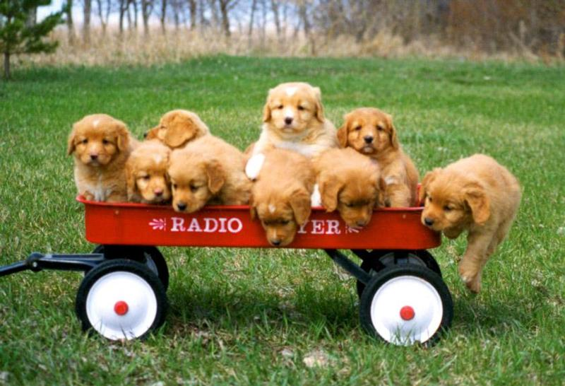 Nine pups in a wagon at 5 weeks